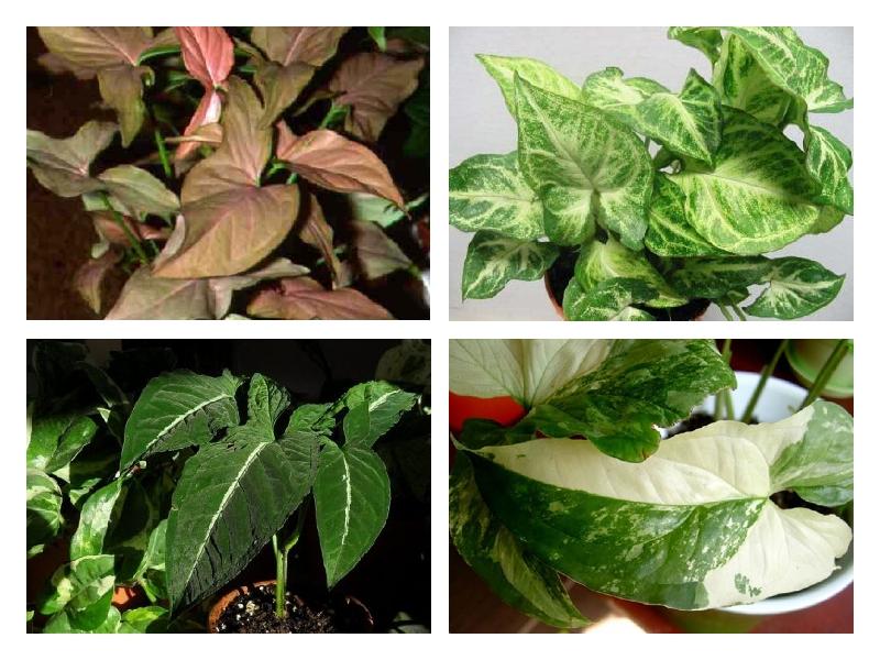 Сингониум : уход в домашних условиях, выращивание и полив