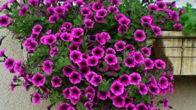 Петунья цветы уход в 72