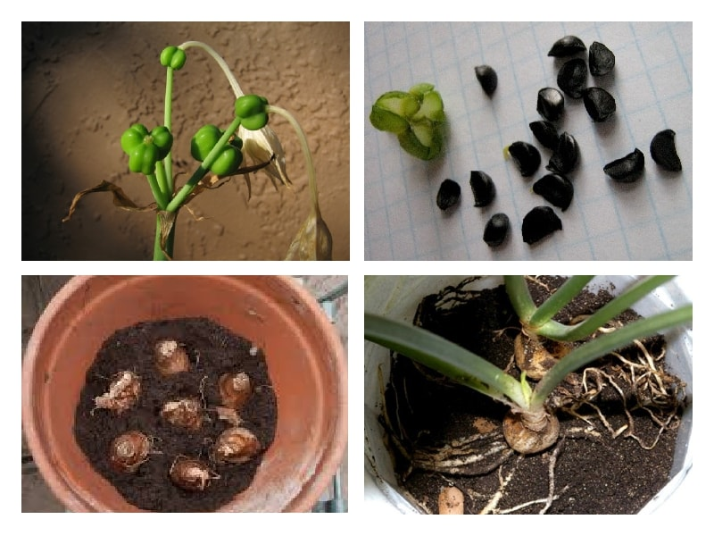 Как сажать цветок эухарис 6