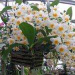 Орхидея: посадка и уход в домашних условиях