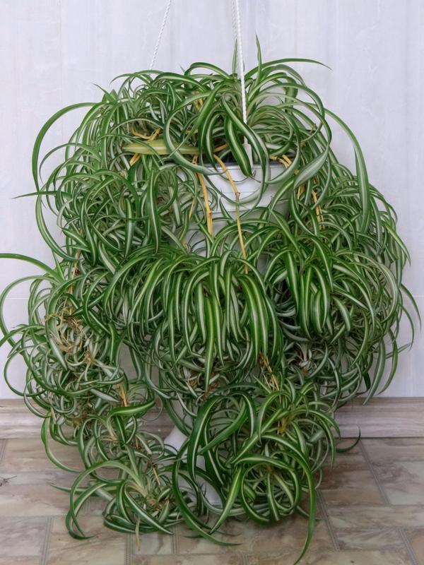 хлорофитум легко выращивать
