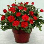 Комнатная роза: выращивание и уход
