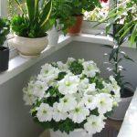 Бальзамин комнатный: выращивание и уход