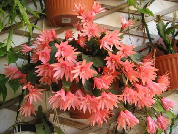 как часто поливают цветок декабрист