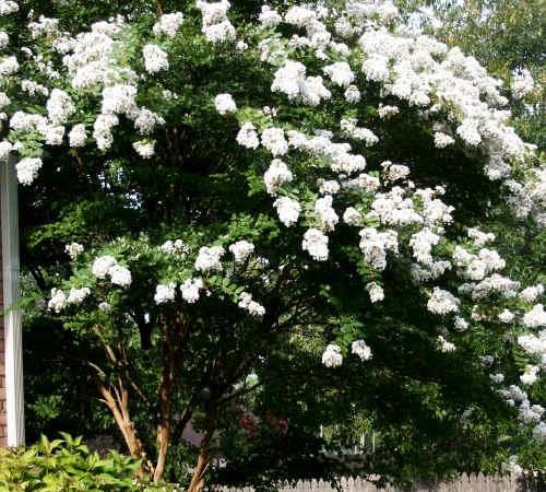цветение мирта в домашних условиях