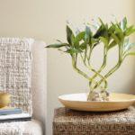 Бамбук комнатное растение, фото