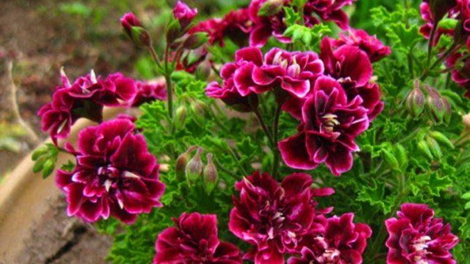 герань уход и выращивание в домашних условиях