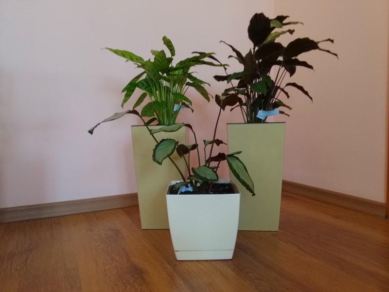 Калатеи - комнатные растения для темных мест