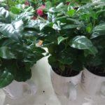 Как размножается кофейное дерево в домашних условиях?