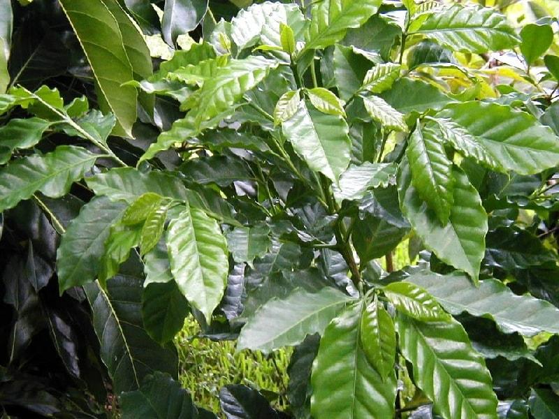 кофейное дерево описание