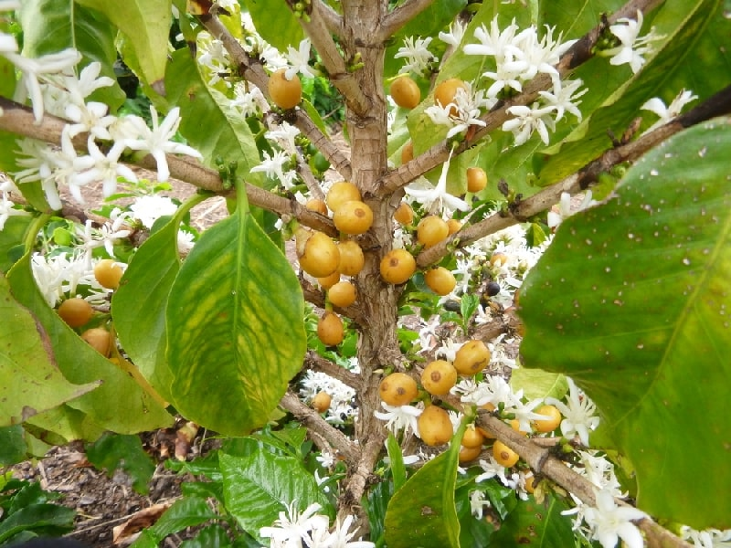 как цветет кофейное дерево в домашних условиях