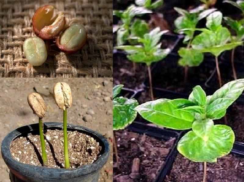 как посадить семена кофейного дерева дома