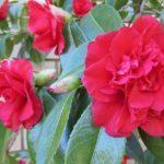 Цветок камелия японская: фото и советы по уходу