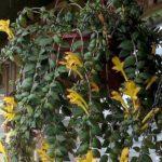 Цветок золотая рыбка: уход в домашних условиях