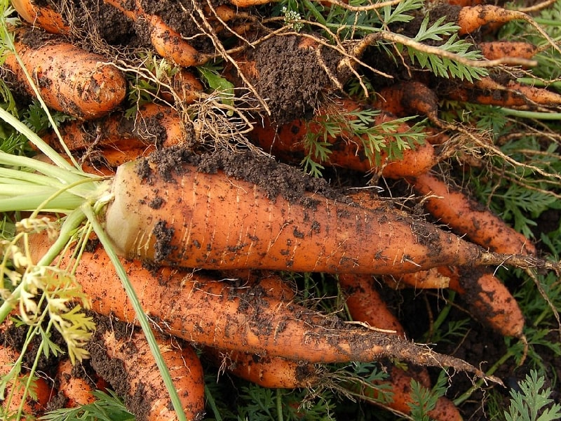 полезные свойства моркови для организма человека