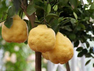 размножение лимонов черенками в домашних условиях