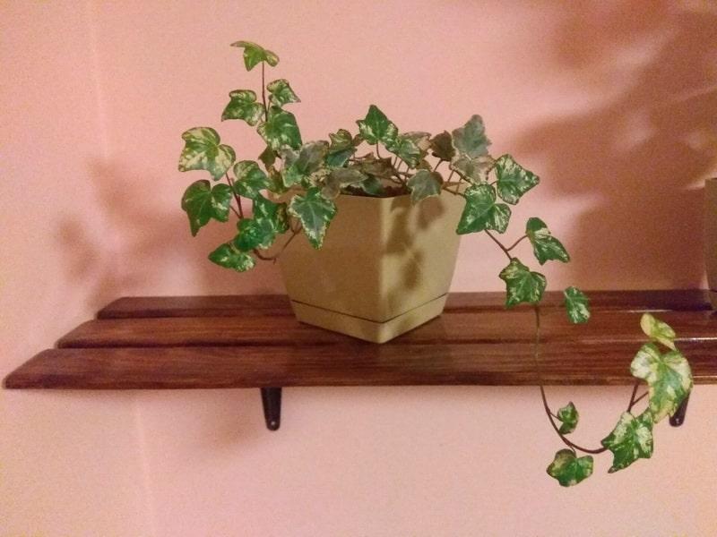 тенелюбивое вьющееся комнатное растение плющ