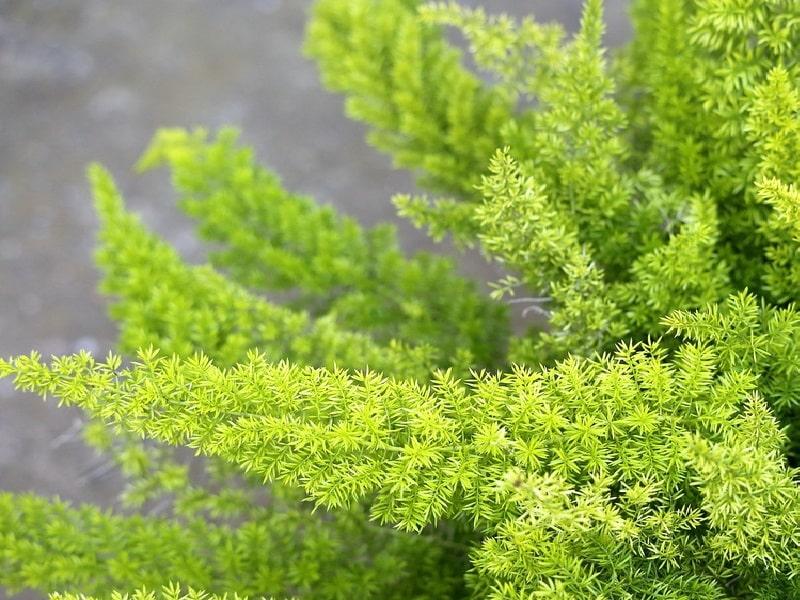 аспарагус - тенелюбивые растения для дома