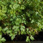 Состав и лечебные свойства зелени петрушки, применение в диетологии, противопоказания