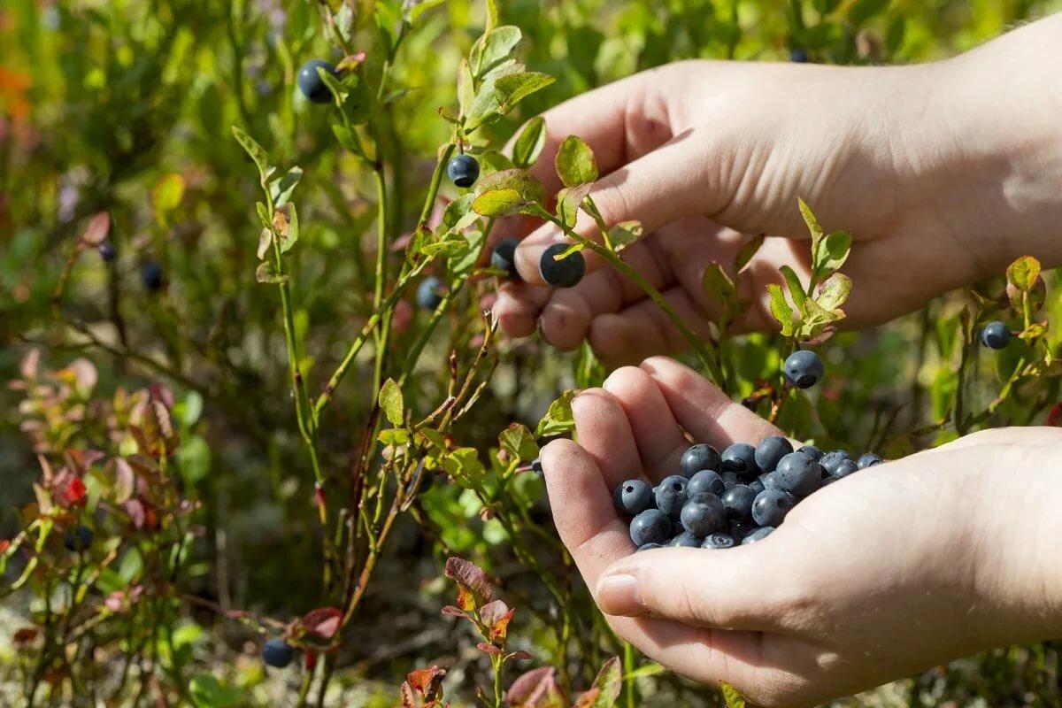 ягоды черники для здоровья
